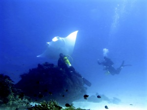 A manta ray checks out the scientific work of Project Manta divers. Pic: Nick Place, Lady Elliot Island